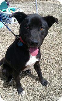 Australian Cattle Dog/Shepherd (Unknown Type) Mix Dog for adoption in Starkville, Mississippi - Jeremy