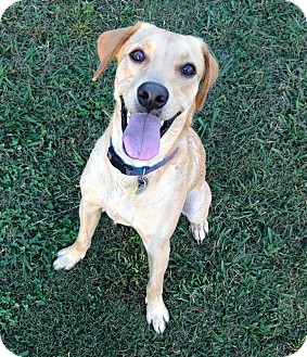 Labrador Retriever/Golden Retriever Mix Dog for adoption in Homewood, Alabama - Milo
