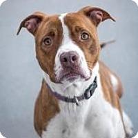 Adopt A Pet :: Layla - Cheyenne, WY