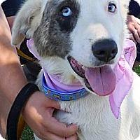 Adopt A Pet :: Georgia super sweet - Sacramento, CA