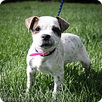 Adopt A Pet :: Begonia - Broomfield, CO