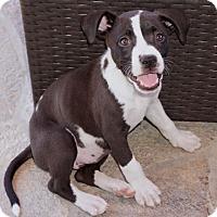 Adopt A Pet :: Chix - La Habra Heights, CA