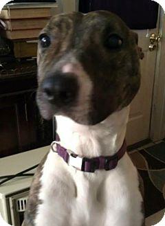 American Pit Bull Terrier/American Pit Bull Terrier Mix Dog for adoption in Roanoke, Virginia - Zelda