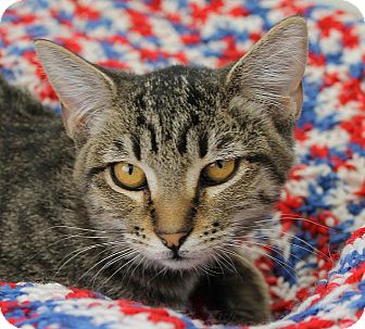 Domestic Shorthair Cat for adoption in Mountain Center, California - Thyme