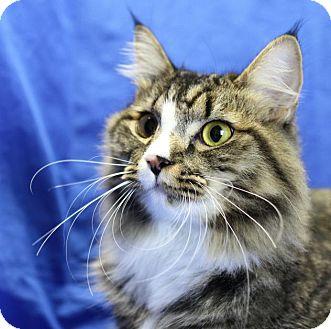 Maine Coon Cat for adoption in Winston-Salem, North Carolina - Charlie