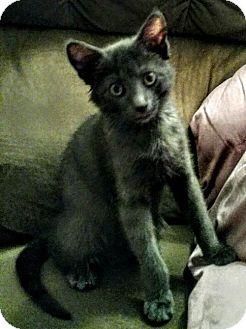 Russian Blue Kitten for adoption in Hewitt, New Jersey - Goose Adoption Pending Congrats Johnston Family!