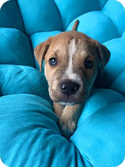 Terrier (Unknown Type, Medium)/Boxer Mix Puppy for adoption in Mayflower, Arkansas - Tubbs