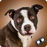 Boston Terrier/Staffordshire Bull Terrier Mix Dog for adoption in Prescott, Arizona - Meatball