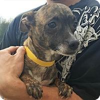Adopt A Pet :: Kizzy~ meet me! - Glastonbury, CT