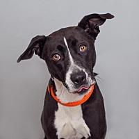 Adopt A Pet :: Audrey - Mission Hills, CA