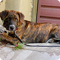 Adopt A Pet :: Merle Haggard - Cat friendly - Los Angeles, CA