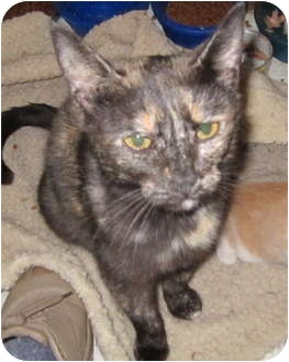 Domestic Shorthair Cat for adoption in Richfield, Ohio - Spring Momma