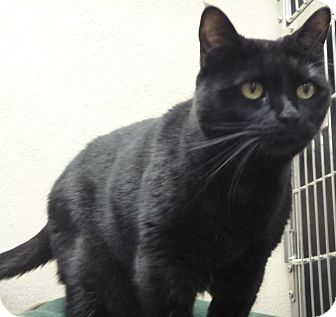 Domestic Shorthair Cat for adoption in St. Petersburg, Florida - Elvis