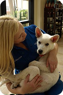 Siberian Husky Mix Puppy for adoption in Mission Viejo, California - Goose