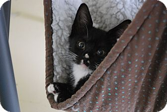 Domestic Shorthair Kitten for adoption in Trevose, Pennsylvania - Clover