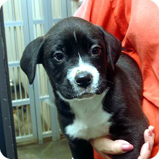 Boxer/Labrador Retriever Mix Puppy for adoption in Greencastle, North Carolina - Pierce