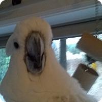Adopt A Pet :: Spike Umbrella Cockatoo - Vancouver, WA