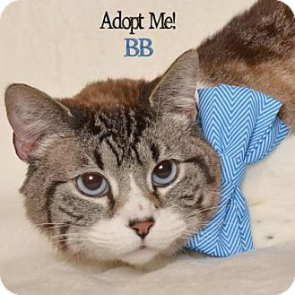Domestic Shorthair Cat for adoption in West Des Moines, Iowa - BB
