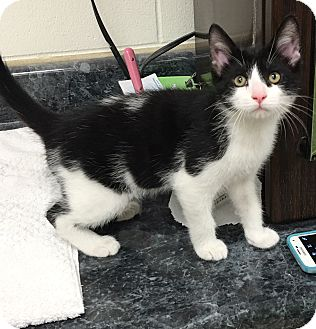 Domestic Shorthair Kitten for adoption in Battle Creek, Michigan - Donny