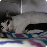 Domestic Shorthair Cat for adoption in New Milford, Connecticut - Spotakus