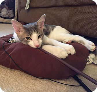 Domestic Shorthair Kitten for adoption in Lombard, Illinois - Scrabble