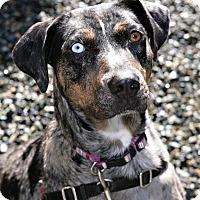 Adopt A Pet :: Queenie - Bellingham, WA