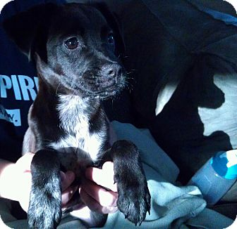 Terrier (Unknown Type, Small)/Labrador Retriever Mix Puppy for adoption in Madison, New Jersey - Breeze