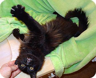 Domestic Longhair Cat for adoption in Bentonville, Arkansas - Slinky