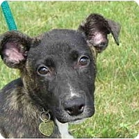 Adopt A Pet :: Puddin' - Marysville, OH