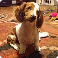 Adopt A Pet :: Laila - Spring City, TN