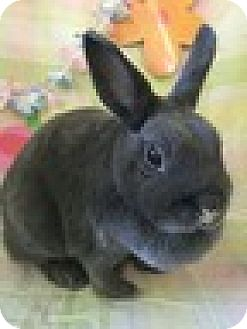 Other/Unknown Mix for adoption in Paramount, California - chi Chi