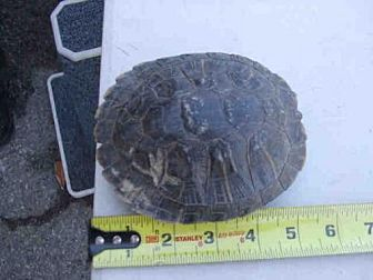 Turtle - Other for adoption in Burbank, California - A069977