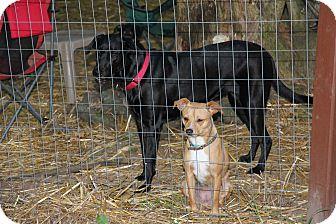 Labrador Retriever Mix Puppy for adoption in Preston, Connecticut - Navi AD 11-16-16