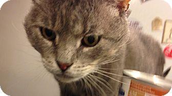 Domestic Shorthair Cat for adoption in New York, New York - Gustav