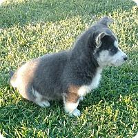 Adopt A Pet :: Chubby - Harbor City, CA