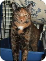 Calico Cat for adoption in Fort Lauderdale, Florida - Confetti