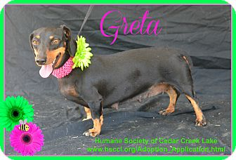 Dachshund Mix Dog for adoption in Plano, Texas - Greta