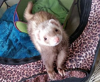 Ferret for adoption in Brandy Station, Virginia - MARLEE & CELESTE