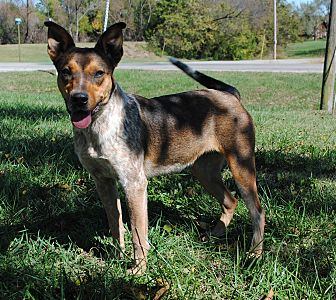 Blue Heeler Mix Dog for adoption in Parsons, Kansas - London
