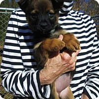 Adopt A Pet :: IVA NELL - Lincolndale, NY