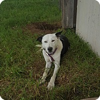 Border Collie Mix Dog for adoption in Eustace, Texas - Valentina