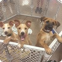 Adopt A Pet :: 8 puppies - Fair Oaks Ranch, TX