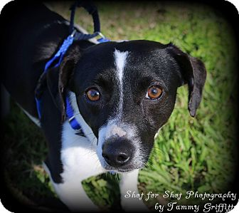 Dachshund/Rat Terrier Mix Dog for adoption in Lodi, California - Riggs