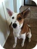 Basenji Mix Dog for adoption in Justin, Texas - Bella