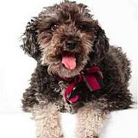 Adopt A Pet :: Maxillian - New York, NY