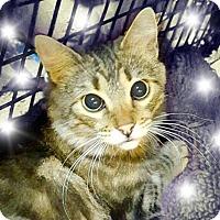 Domestic Mediumhair Cat for adoption in Tucson, Arizona - Olivia