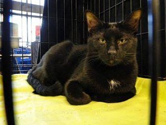 Oriental Cat for adoption in Brooksville, Florida - Bobby