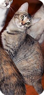 Domestic Shorthair Kitten for adoption in Morganton, North Carolina - Merida