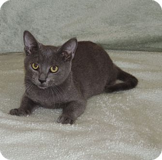 Russian Blue Kitten for adoption in Plano, Texas - ZINGER - SWEET BOY