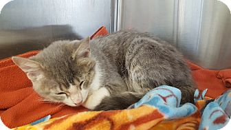 Domestic Shorthair Kitten for adoption in La Crescent, Minnesota - Rocky **